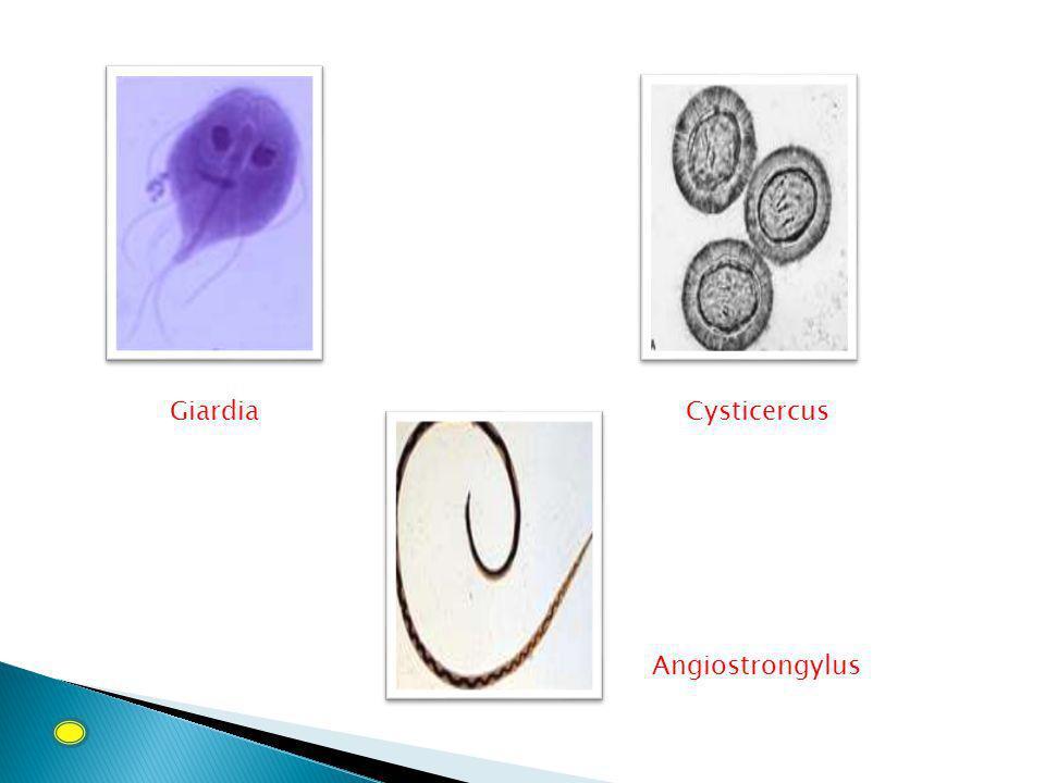 Giardia Cysticercus Angiostrongylus