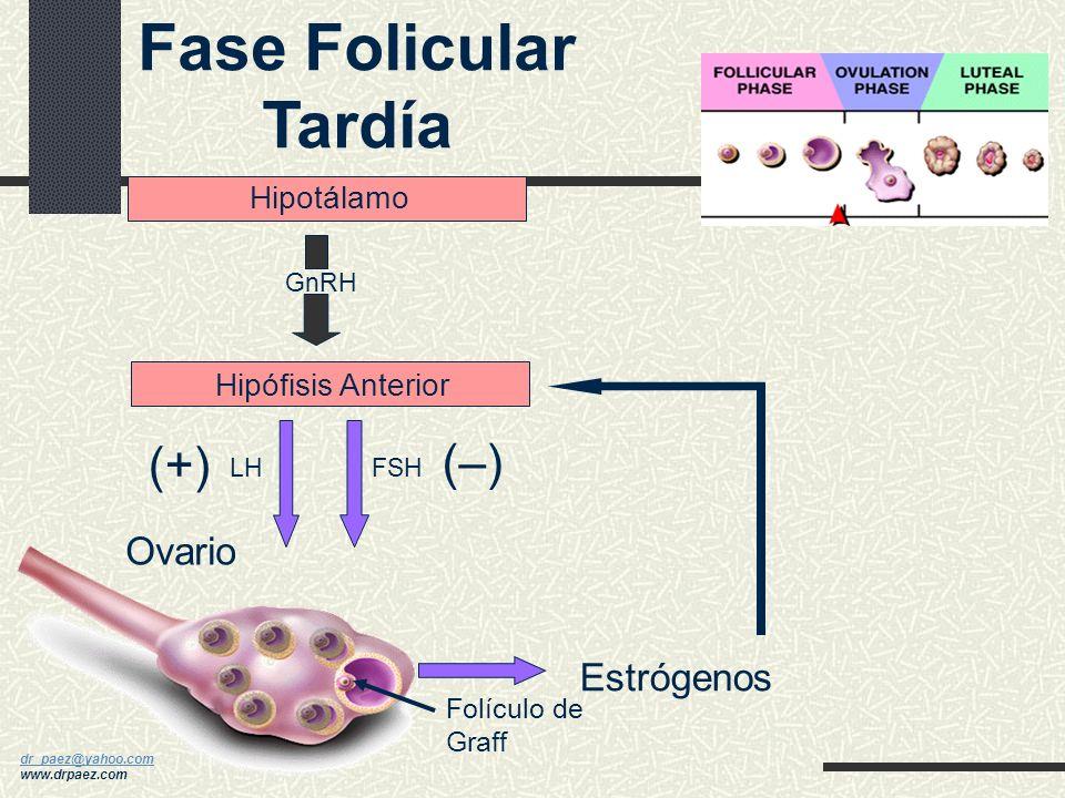 Fase Folicular Tardía (+) (–) Ovario Estrógenos Hipotálamo
