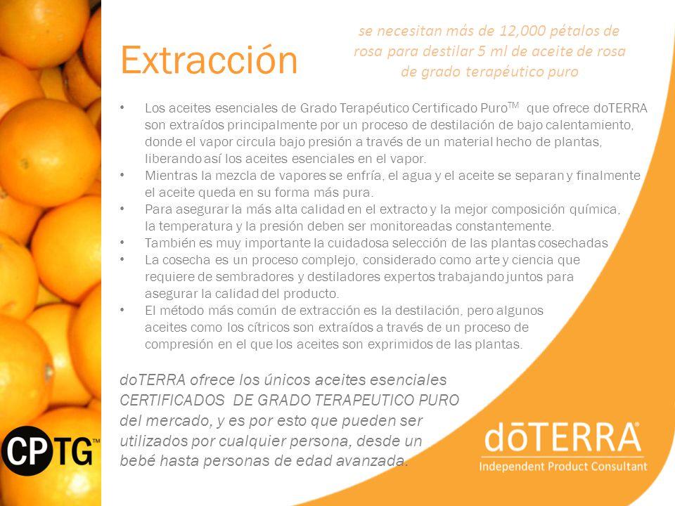 Extracción se necesitan más de 12,000 pétalos de rosa para destilar 5 ml de aceite de rosa de grado terapéutico puro.