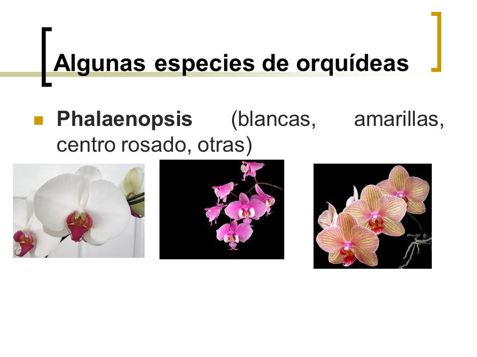 Algunas especies de orquídeas