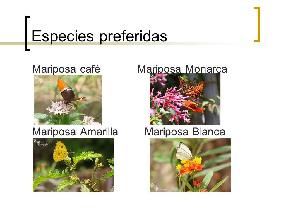 Especies preferidas Mariposa café Mariposa Monarca Mariposa Amarilla Mariposa Blanca