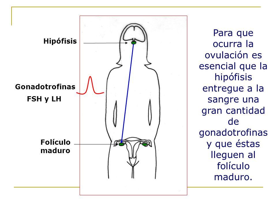 Para que ocurra la ovulación es esencial que la hipófisis entregue a la sangre una gran cantidad de gonadotrofinas y que éstas lleguen al folículo maduro.