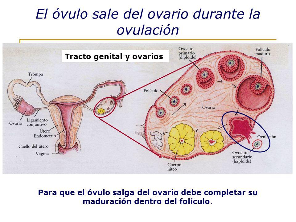 El óvulo sale del ovario durante la ovulación