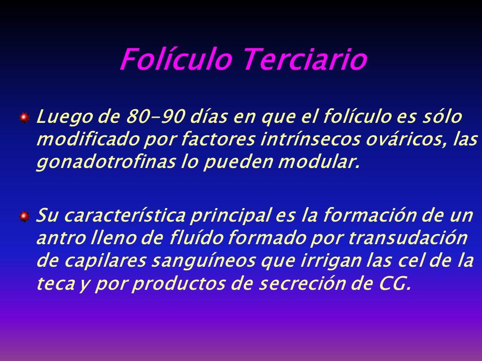 Folículo Terciario Luego de 80-90 días en que el folículo es sólo modificado por factores intrínsecos ováricos, las gonadotrofinas lo pueden modular.