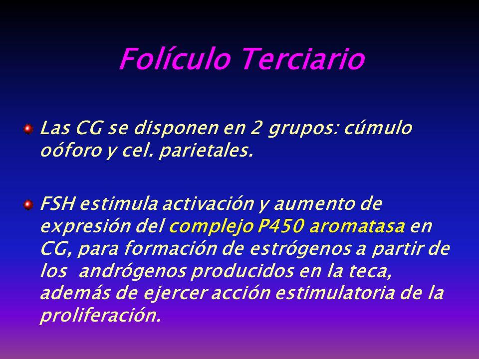 Folículo Terciario Las CG se disponen en 2 grupos: cúmulo oóforo y cel. parietales.