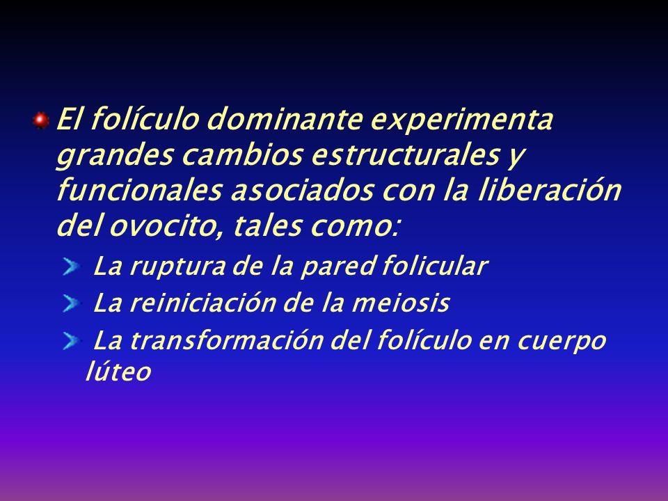 El folículo dominante experimenta grandes cambios estructurales y funcionales asociados con la liberación del ovocito, tales como:
