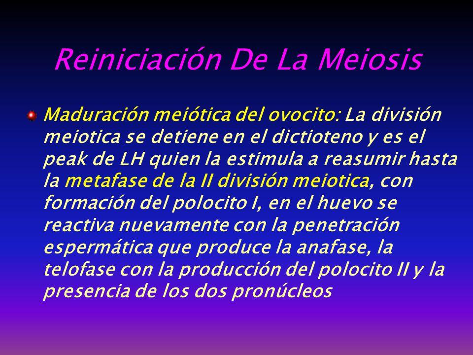 Reiniciación De La Meiosis