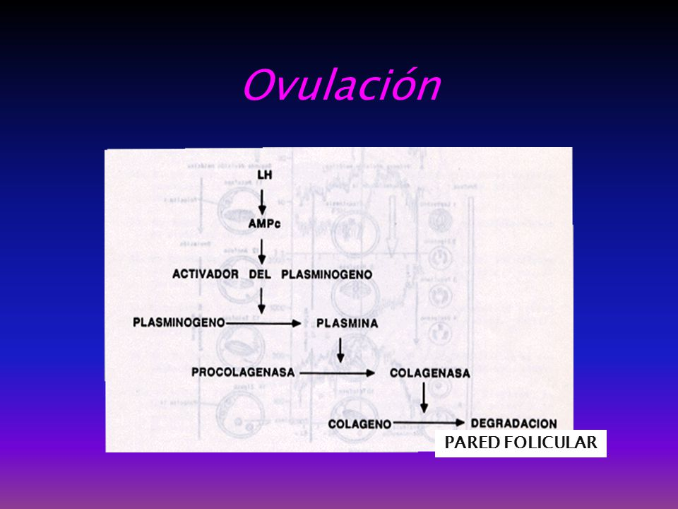 Ovulación PARED FOLICULAR