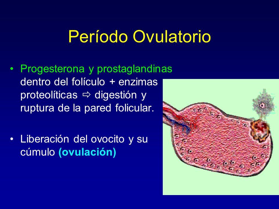 Período Ovulatorio Progesterona y prostaglandinas dentro del folículo + enzimas proteolíticas  digestión y ruptura de la pared folicular.
