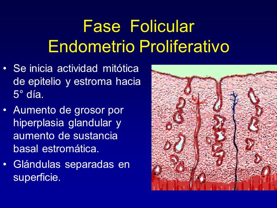 Fase Folicular Endometrio Proliferativo