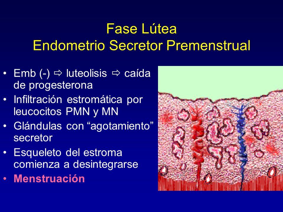 Fase Lútea Endometrio Secretor Premenstrual