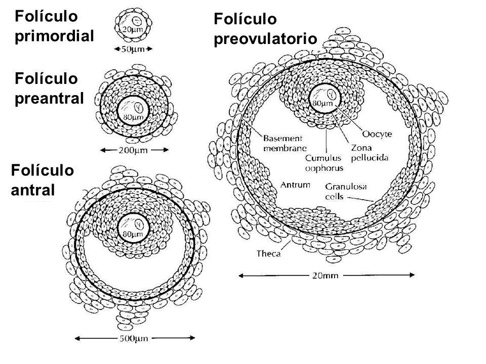 Folículo primordial Folículo preovulatorio Folículo preantral Folículo antral