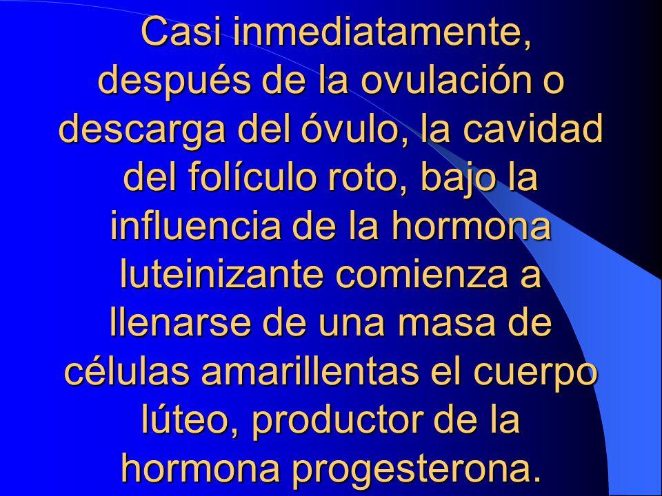 Casi inmediatamente, después de la ovulación o descarga del óvulo, la cavidad del folículo roto, bajo la influencia de la hormona luteinizante comienza a llenarse de una masa de células amarillentas el cuerpo lúteo, productor de la hormona progesterona.