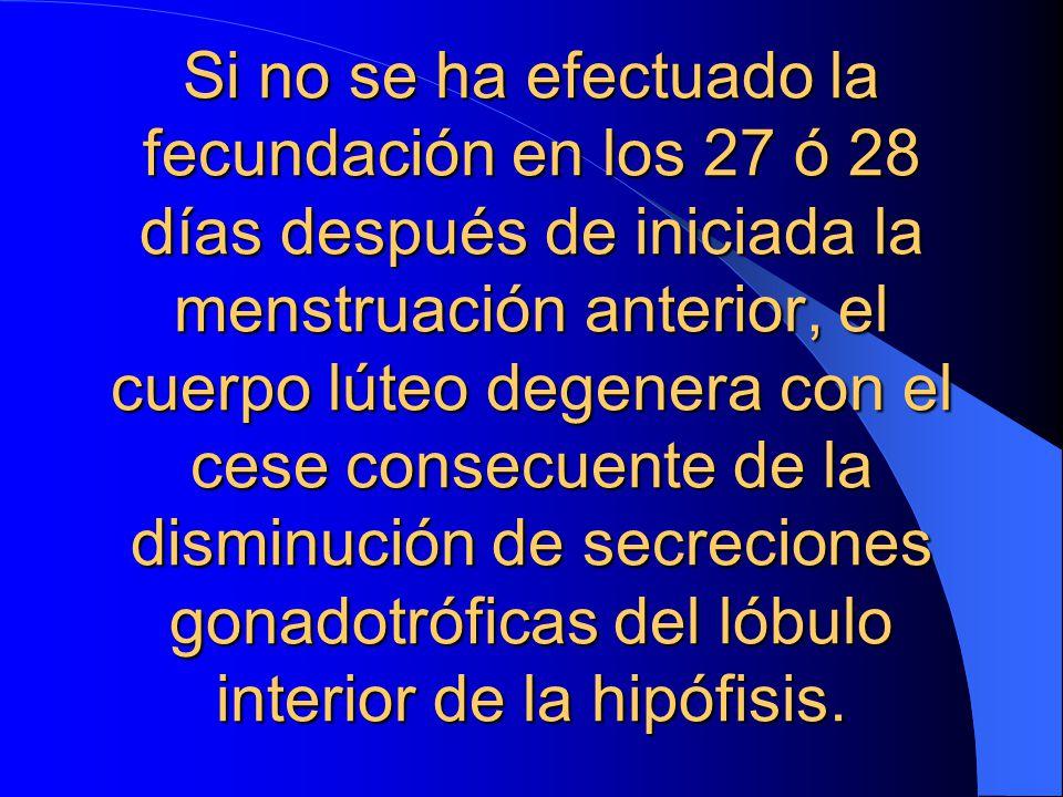 Si no se ha efectuado la fecundación en los 27 ó 28 días después de iniciada la menstruación anterior, el cuerpo lúteo degenera con el cese consecuente de la disminución de secreciones gonadotróficas del lóbulo interior de la hipófisis.