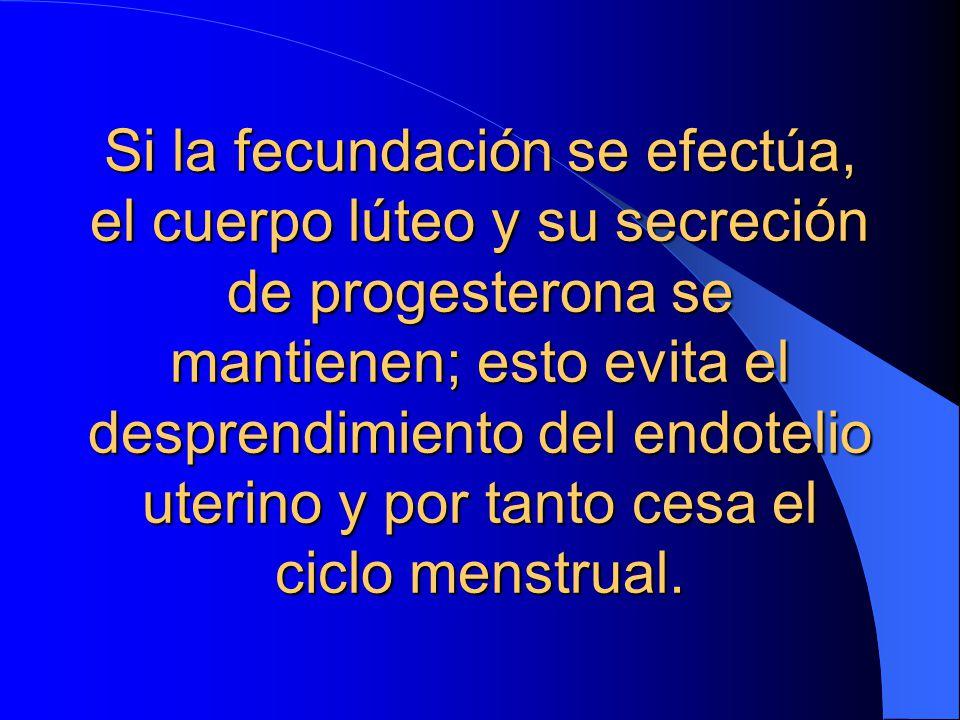 Si la fecundación se efectúa, el cuerpo lúteo y su secreción de progesterona se mantienen; esto evita el desprendimiento del endotelio uterino y por tanto cesa el ciclo menstrual.