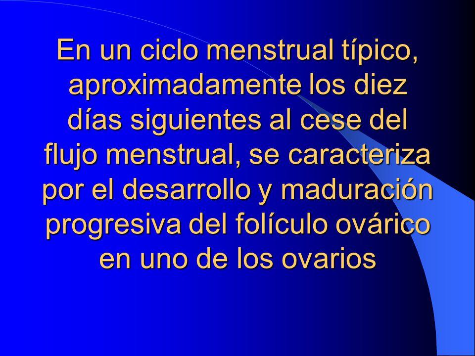 En un ciclo menstrual típico, aproximadamente los diez días siguientes al cese del flujo menstrual, se caracteriza por el desarrollo y maduración progresiva del folículo ovárico en uno de los ovarios