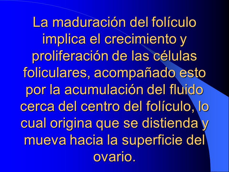 La maduración del folículo implica el crecimiento y proliferación de las células foliculares, acompañado esto por la acumulación del fluido cerca del centro del folículo, lo cual origina que se distienda y mueva hacia la superficie del ovario.