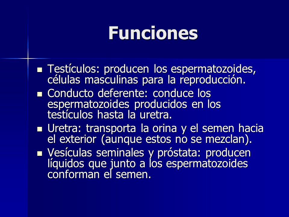 Funciones Testículos: producen los espermatozoides, células masculinas para la reproducción.