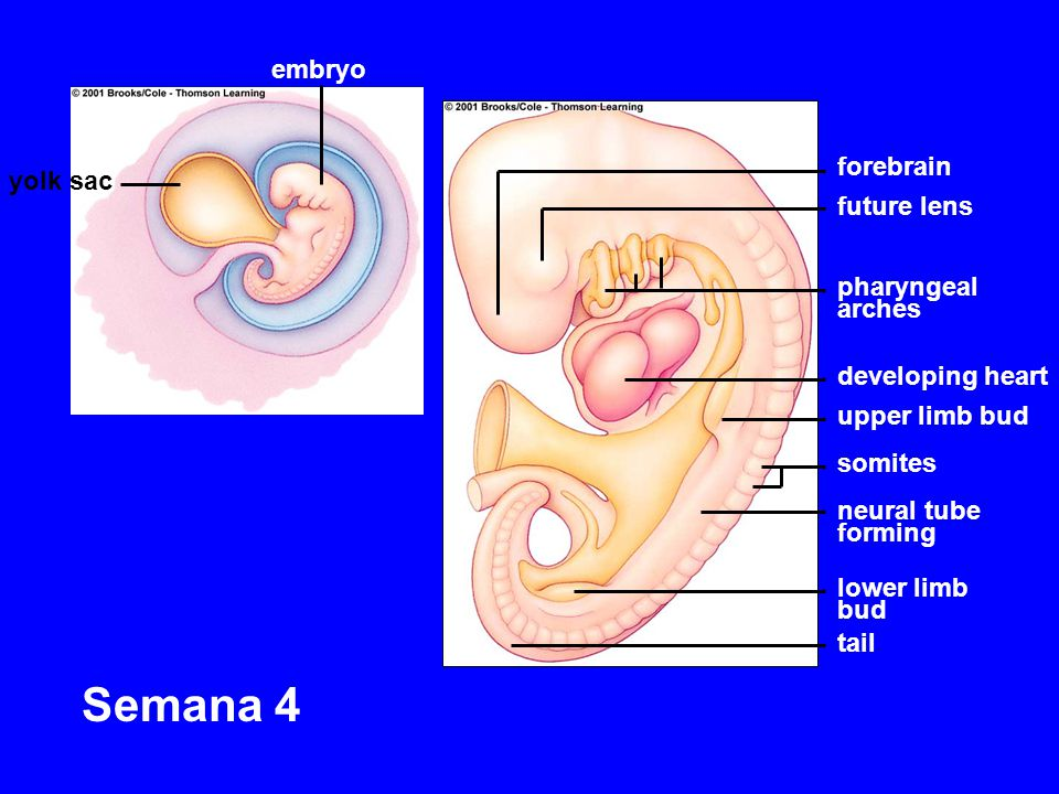 Semana 4 embryo forebrain yolk sac future lens pharyngeal arches