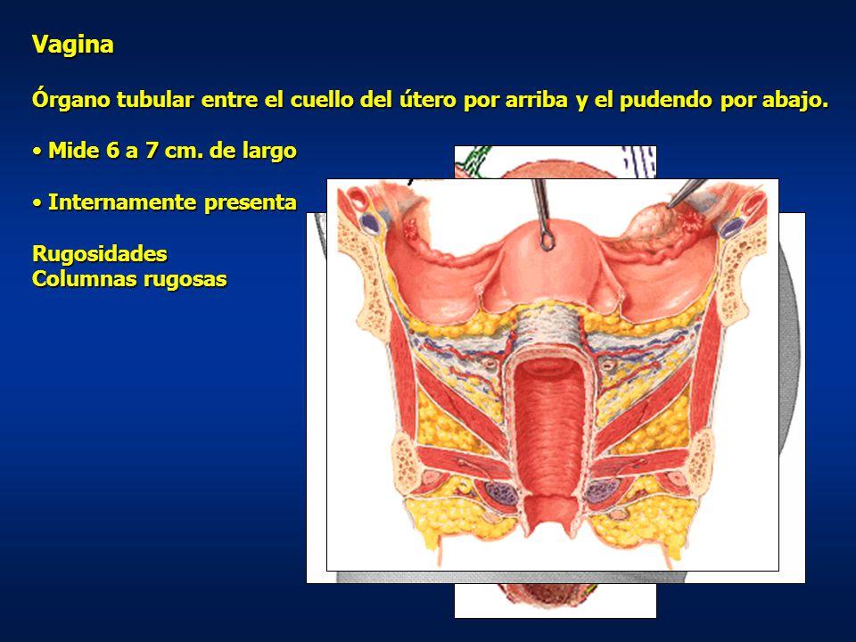 Vagina Órgano tubular entre el cuello del útero por arriba y el pudendo por abajo. Mide 6 a 7 cm. de largo.