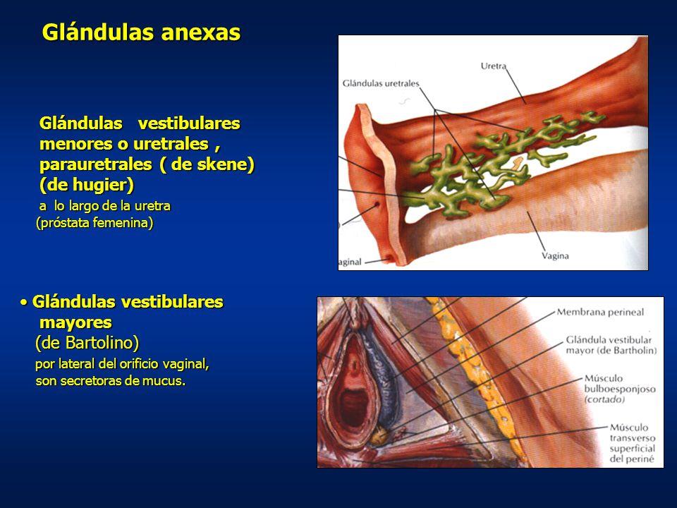 Glándulas anexas Glándulas vestibulares menores o uretrales ,