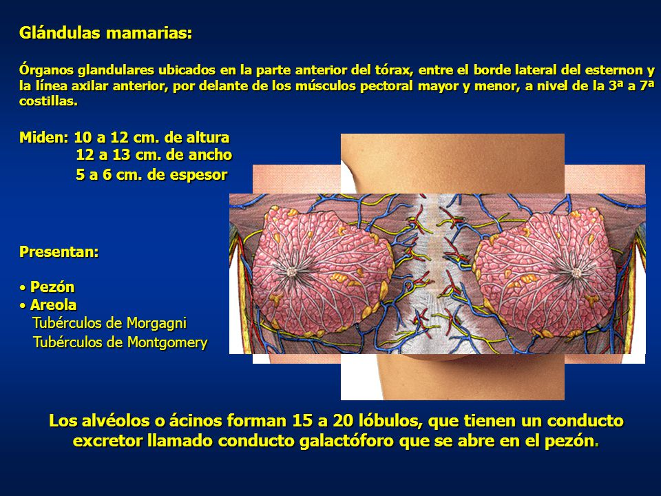 Glándulas mamarias: