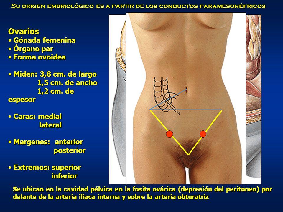 Ovarios Gónada femenina Órgano par Forma ovoidea