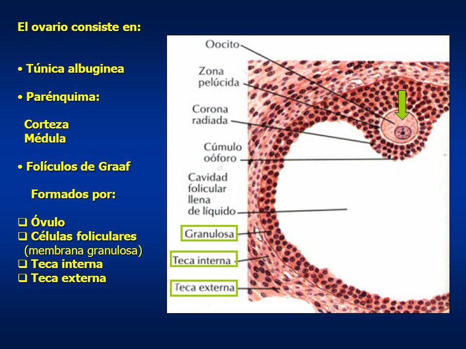 El ovario consiste en: Túnica albuginea. Parénquima: Corteza. Médula. Folículos de Graaf. Formados por: