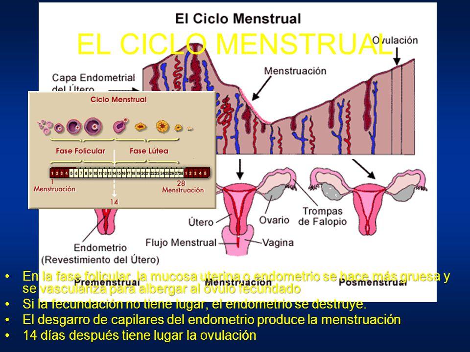 EL CICLO MENSTRUAL En la fase folicular, la mucosa uterina o endometrio se hace más gruesa y se vasculariza para albergar al óvulo fecundado.
