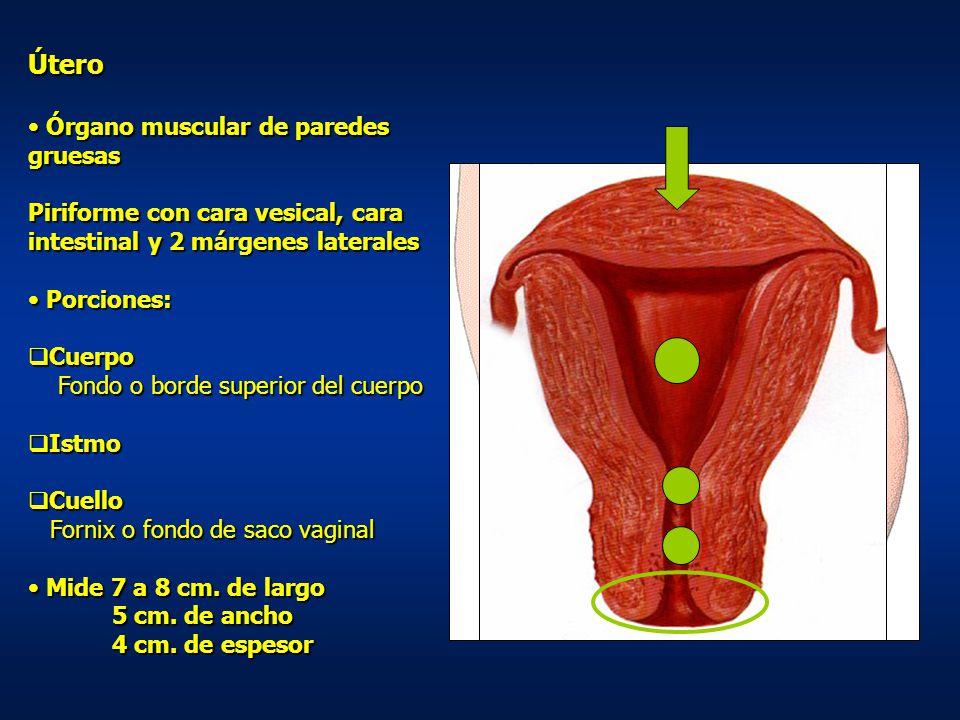 Útero Órgano muscular de paredes gruesas