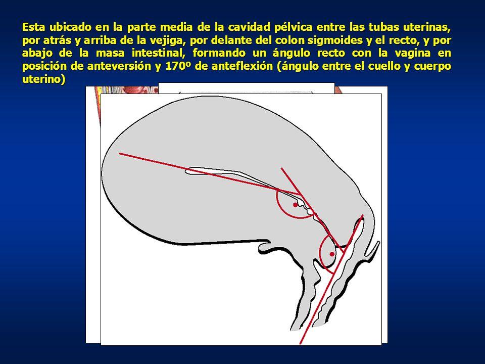 Esta ubicado en la parte media de la cavidad pélvica entre las tubas uterinas, por atrás y arriba de la vejiga, por delante del colon sigmoides y el recto, y por abajo de la masa intestinal, formando un ángulo recto con la vagina en posición de anteversión y 170º de anteflexión (ángulo entre el cuello y cuerpo uterino)