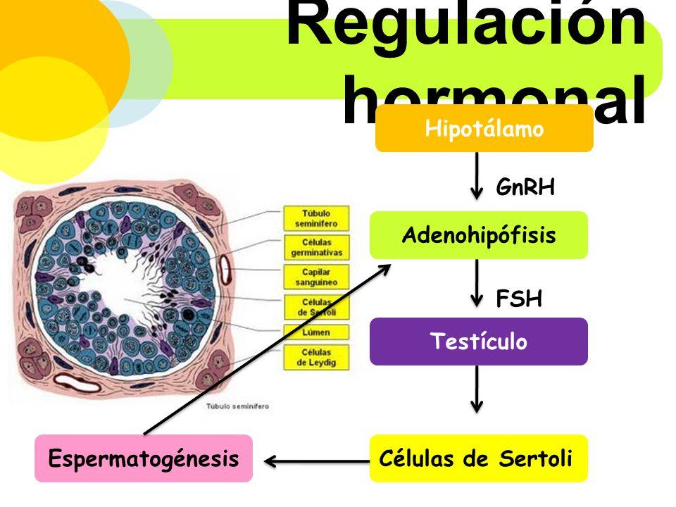 Regulación hormonal Hipotálamo GnRH Adenohipófisis FSH Testículo
