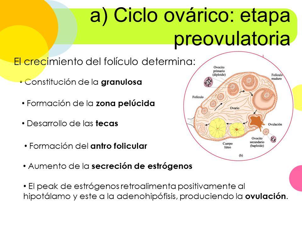 a) Ciclo ovárico: etapa preovulatoria