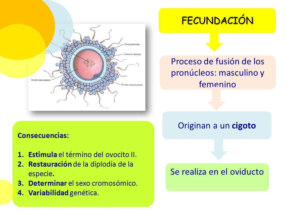 Proceso de fusión de los pronúcleos: masculino y femenino