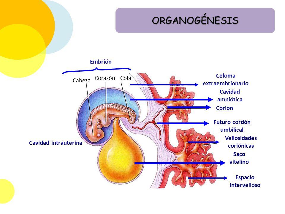 ORGANOGÉNESIS Embrión Celoma extraembrionario Corazón Cola Cabeza