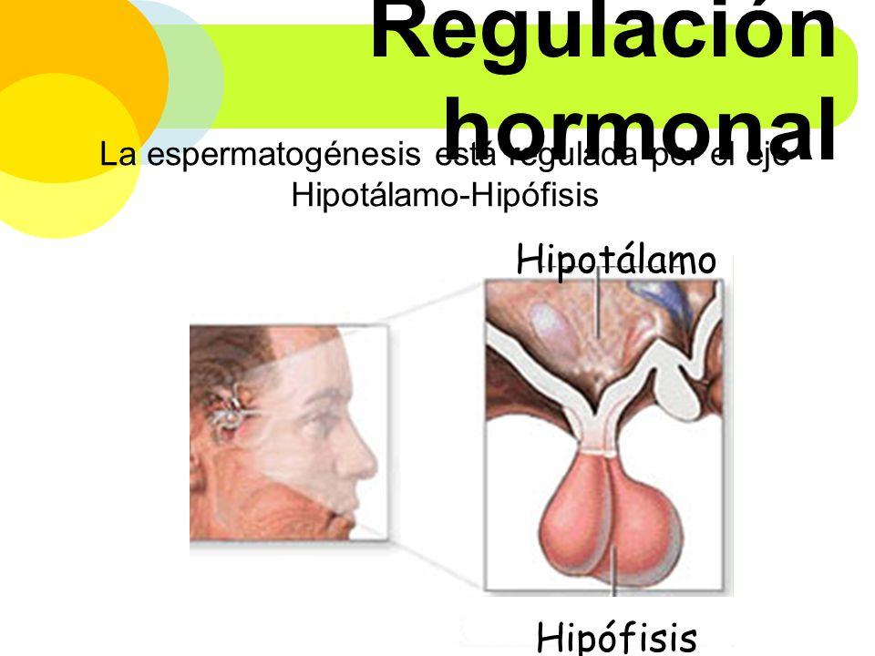La espermatogénesis está regulada por el eje Hipotálamo-Hipófisis