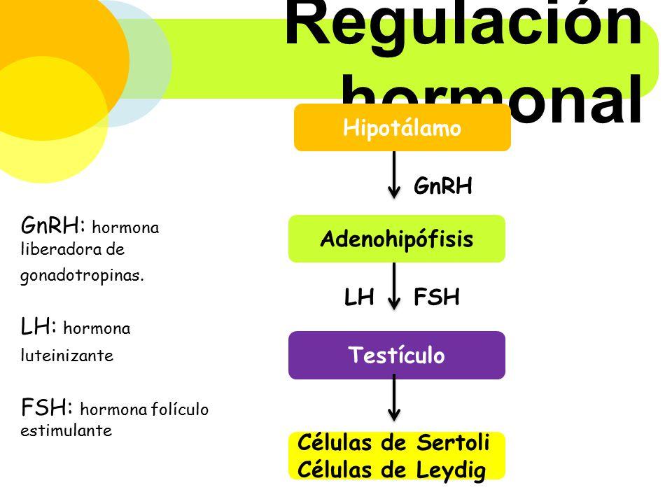 Regulación hormonal Hipotálamo GnRH
