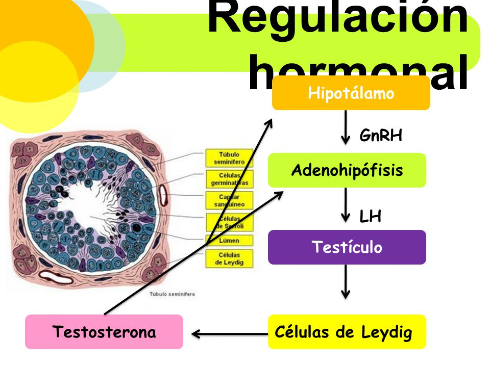 Regulación hormonal Hipotálamo GnRH Adenohipófisis LH Testículo