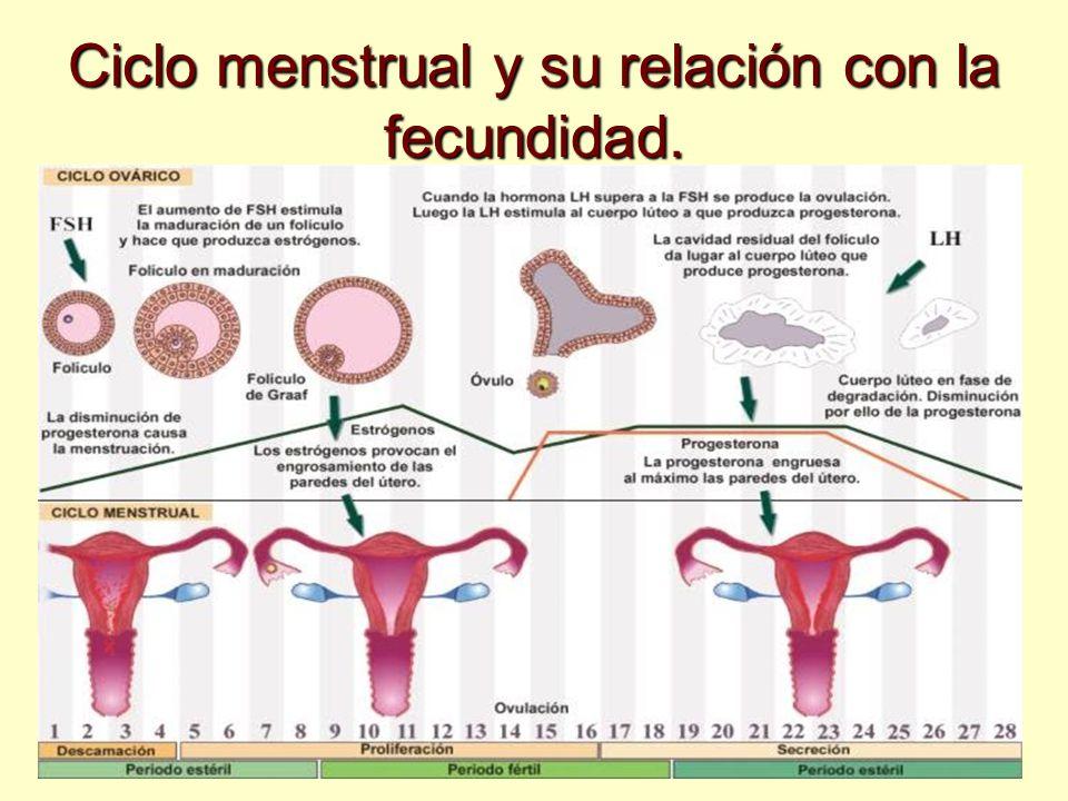 Ciclo menstrual y su relación con la fecundidad.