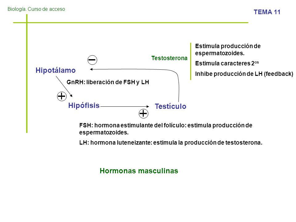 Hipotálamo Hipófisis Testículo Hormonas masculinas