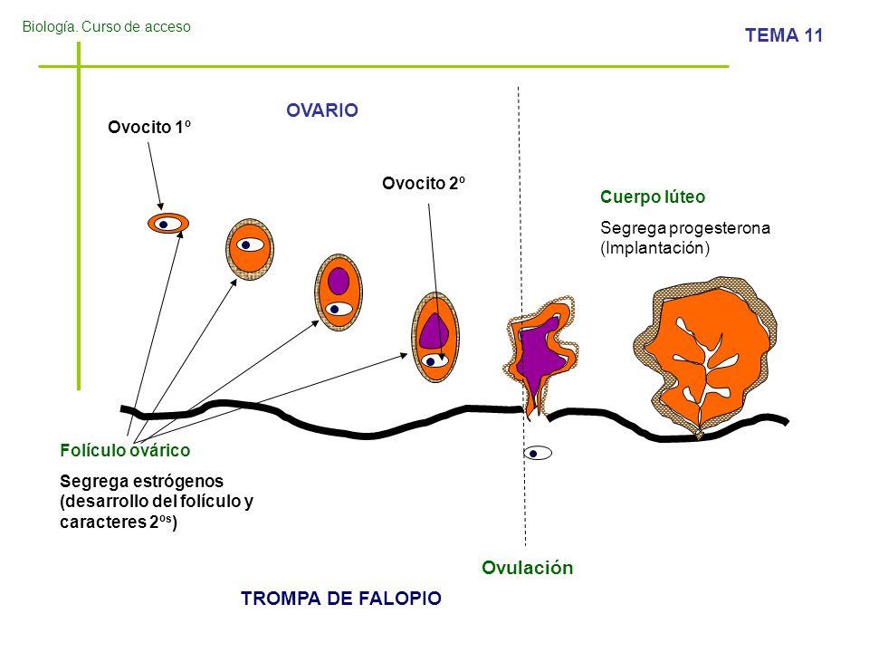 OVARIO Ovulación TROMPA DE FALOPIO Ovocito 1º Ovocito 2º Cuerpo lúteo