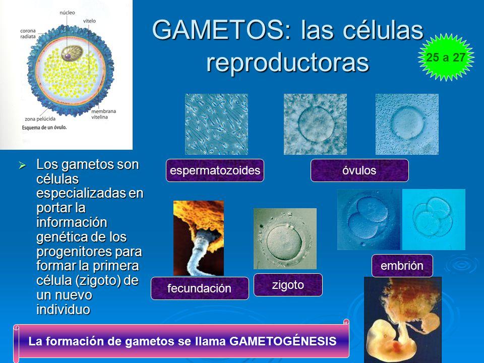 GAMETOS: las células reproductoras