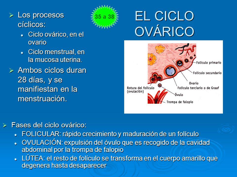 EL CICLO OVÁRICO Los procesos cíclicos: