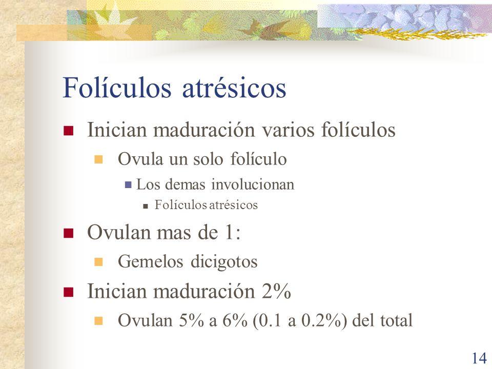 Folículos atrésicos Inician maduración varios folículos