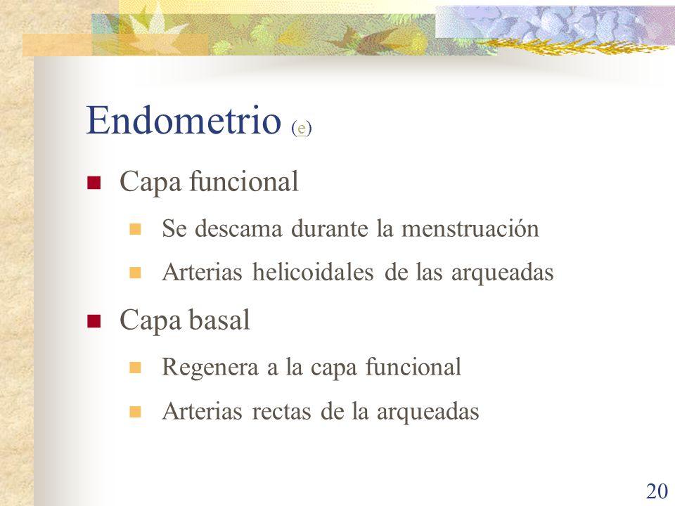 Endometrio (e) Capa funcional Capa basal