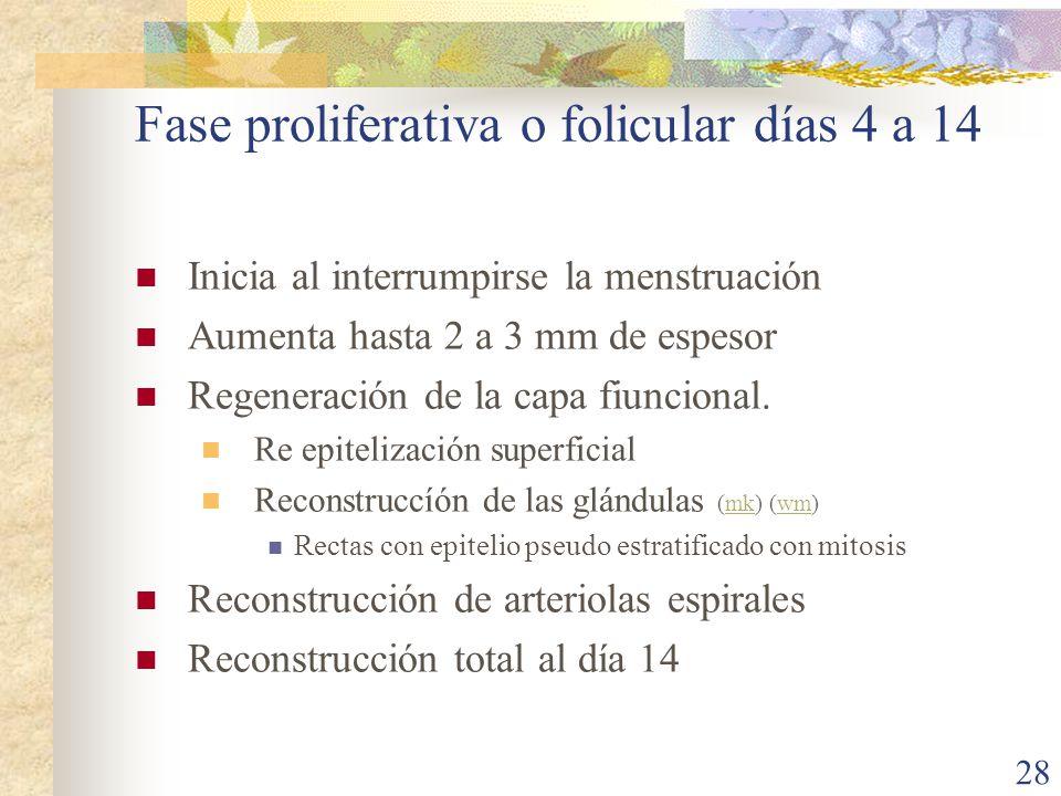 Fase proliferativa o folicular días 4 a 14