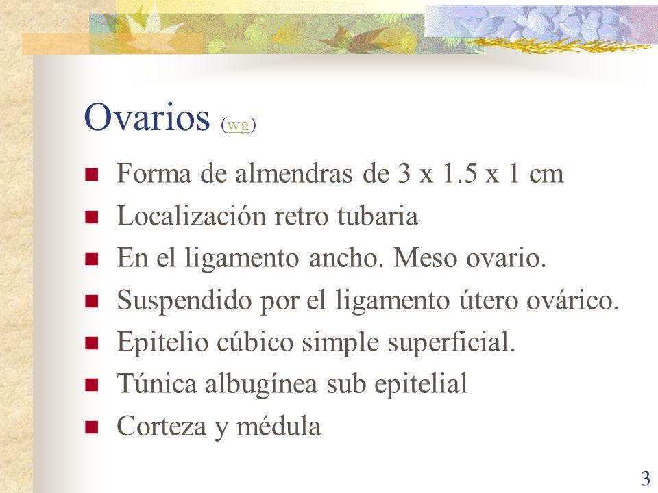Ovarios (wg) Forma de almendras de 3 x 1.5 x 1 cm