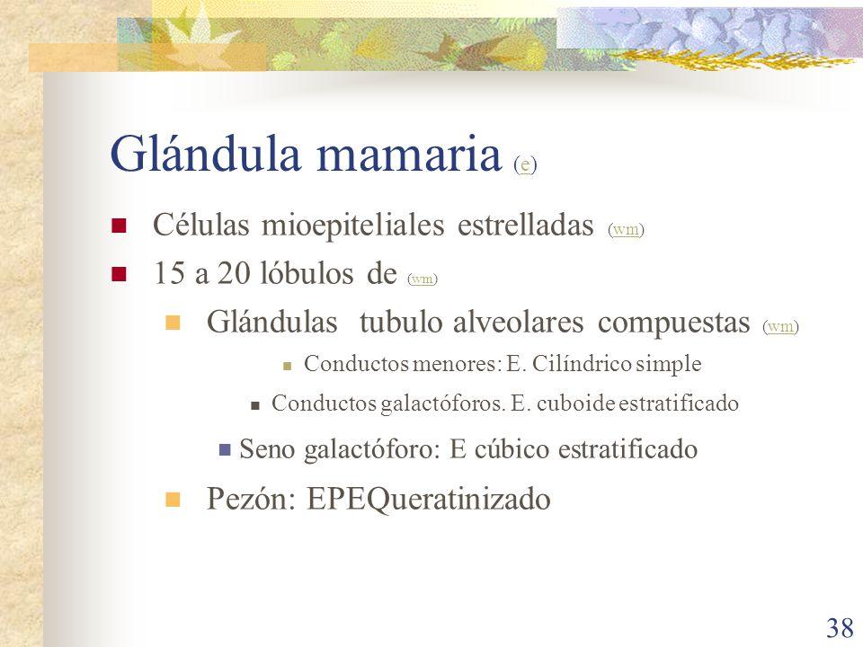 Glándula mamaria (e) Células mioepiteliales estrelladas (wm)