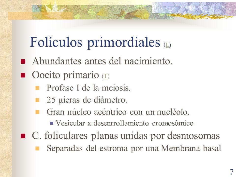 Folículos primordiales (L)