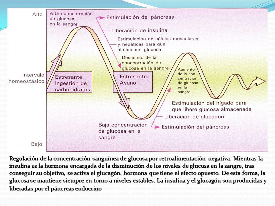 Regulación de la concentración sanguínea de glucosa por retroalimentación negativa.